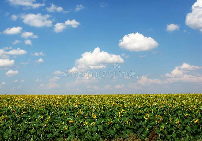 Gebieden van zonnebloemen royalty-vrije stock afbeeldingen