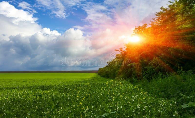 Gebieds bloeiend gras, bosje, perfecte wolken bij zonsondergang stock fotografie
