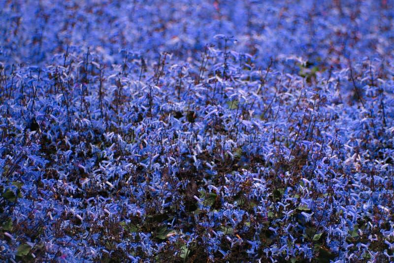 Gebiedshoogtepunt van bloeiende lavendel royalty-vrije stock foto's
