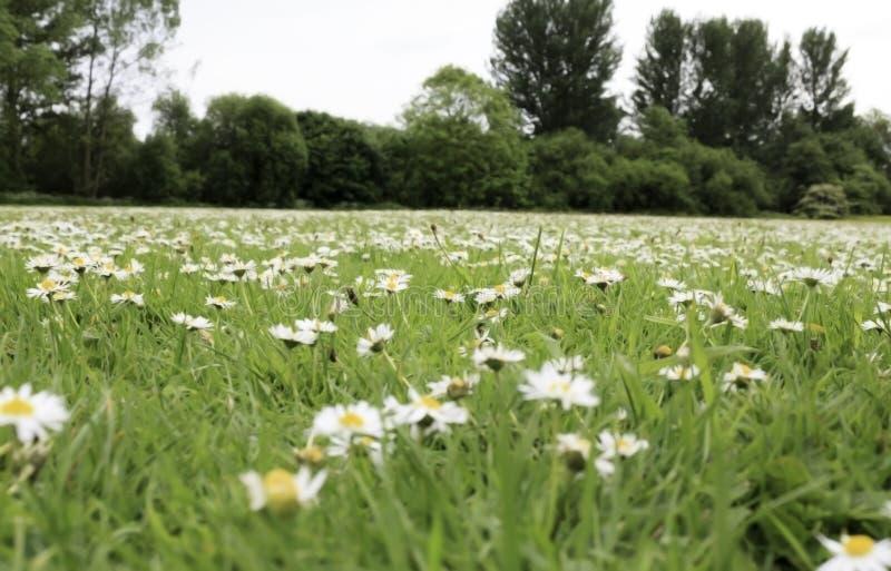 Gebiedshoogtepunt van daisys royalty-vrije stock fotografie