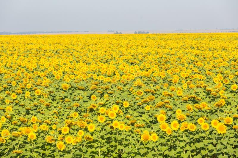 Gebiedshoogtepunt van gele zonnebloemen stock afbeeldingen
