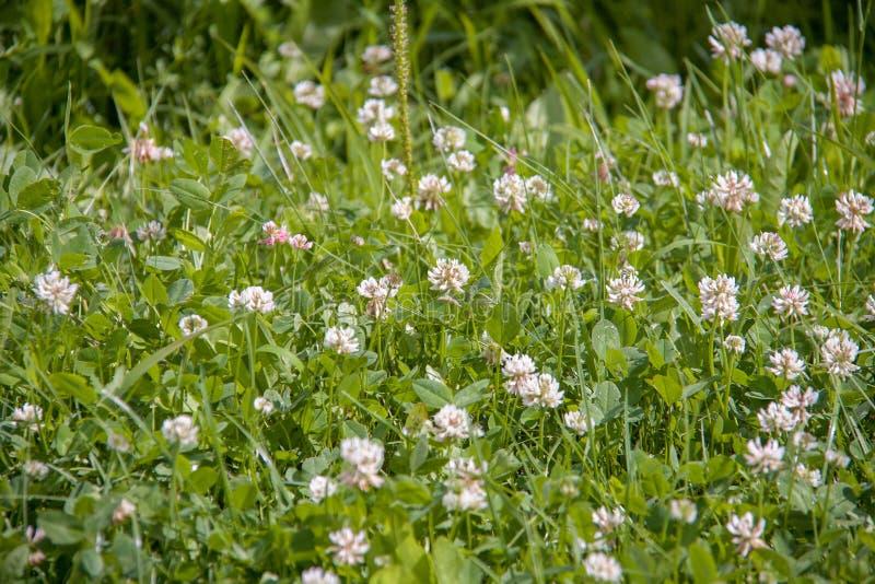 Gebiedshoogtepunt van groen gras met veel kleine witte bloemen stock afbeeldingen