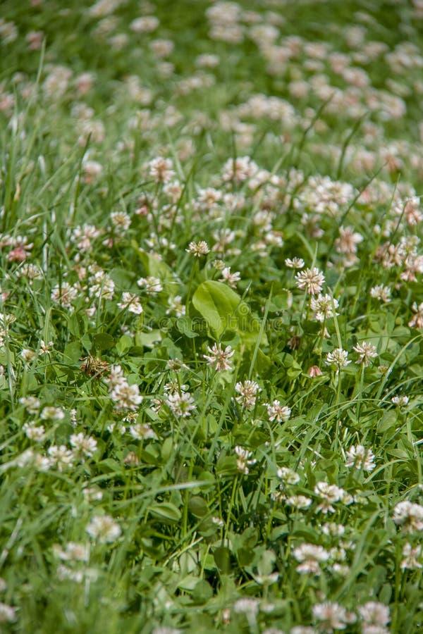 Gebiedshoogtepunt van groen gras met veel kleine witte bloemen royalty-vrije stock foto