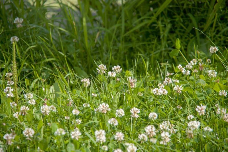 Gebiedshoogtepunt van groen gras met veel kleine witte bloemen stock foto's