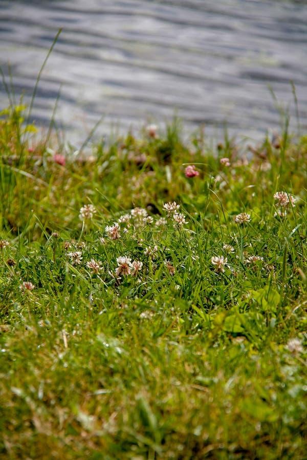 Gebiedshoogtepunt van groen gras met veel kleine witte bloemen royalty-vrije stock afbeelding