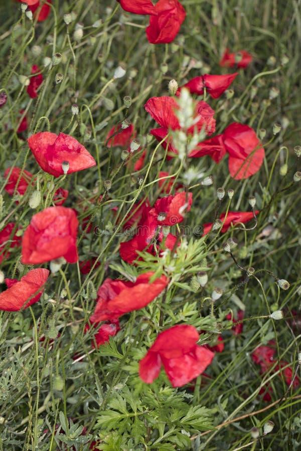 Gebiedspapavers, mooie bloemen stock foto's