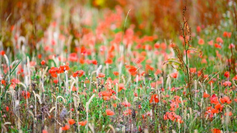 Gebiedsrand met wilde bloemen en kruiden Niet met pesticiden bespoten gebiedsrand Onbehandelde aard royalty-vrije stock foto
