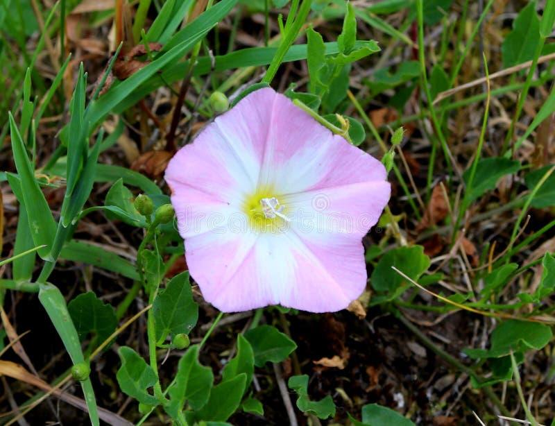 Gebiedswinde - roze en wit bloemclose-up stock fotografie