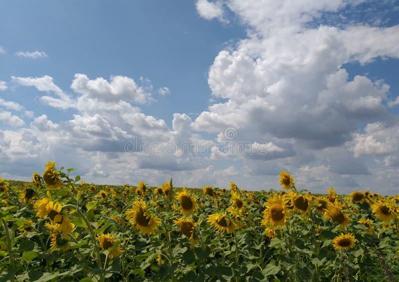 Gebiedszonnebloemen op achtergrondwolken stock foto