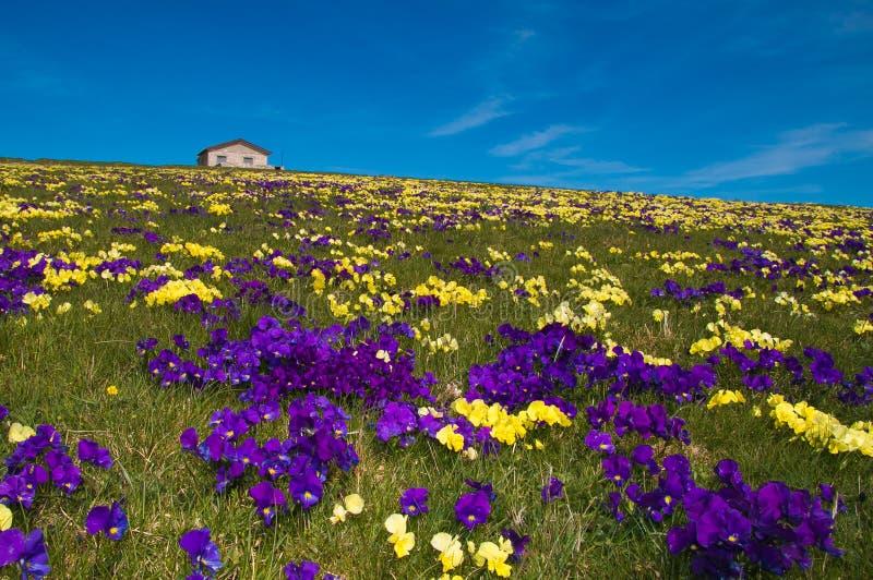 Gebirgschalet auf Teppich von wilden Blumen stockfoto