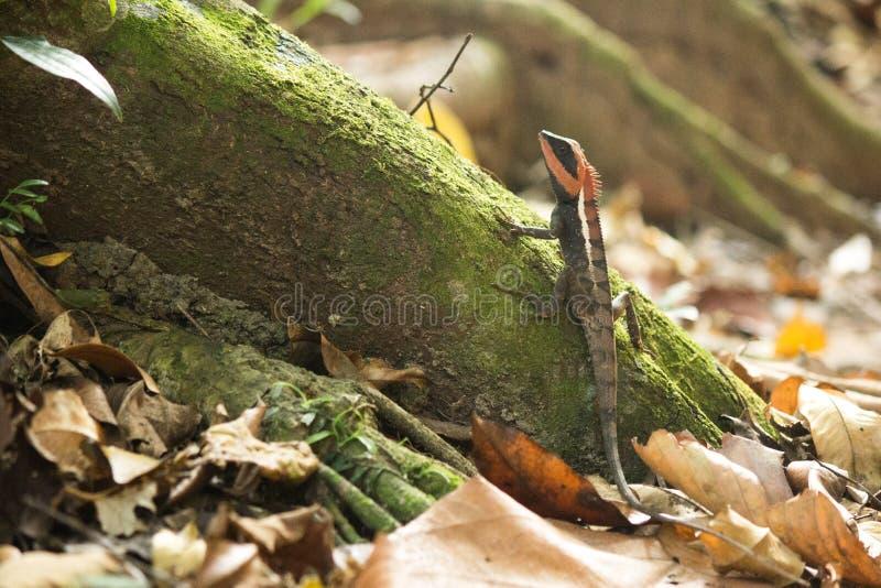 Gebirgsdrache in Nationalpark Khao Yai lizenzfreies stockbild