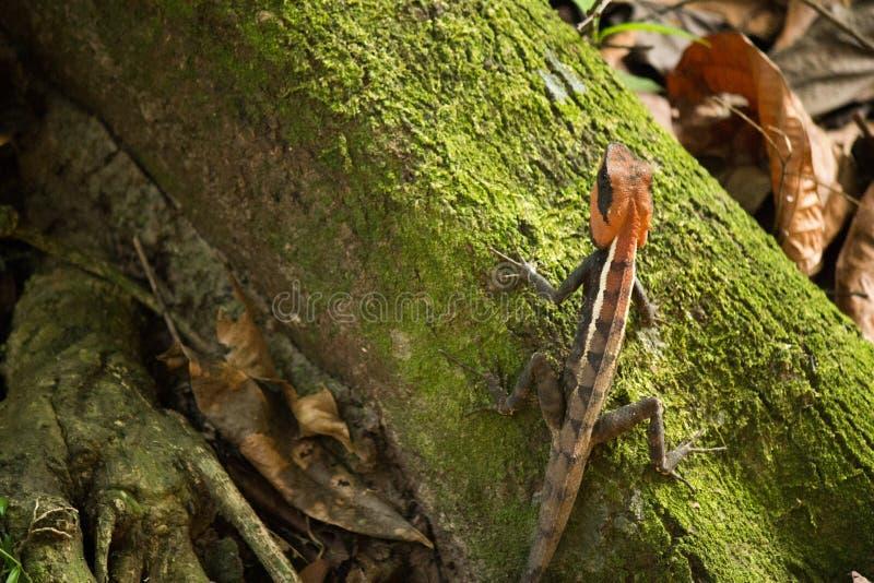 Gebirgsdrache in Nationalpark Khao Yai stockbild