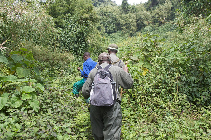 Gebirgsgorilla Trekking im Wald lizenzfreies stockbild