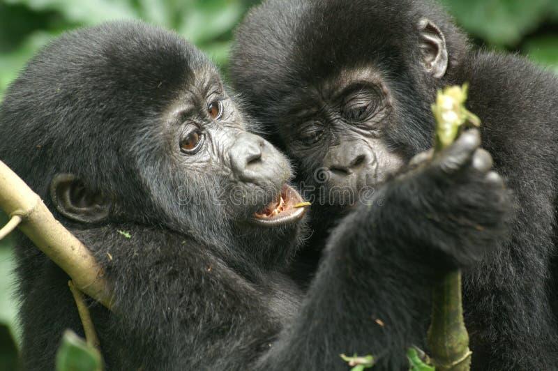 Gebirgsgorillas stockfotografie