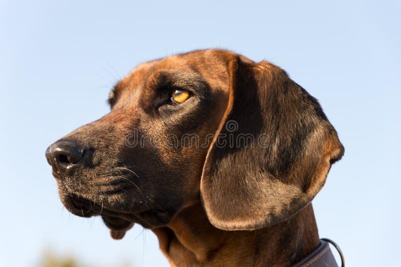 Gebirgsjagdhund vom baveria stockfotografie