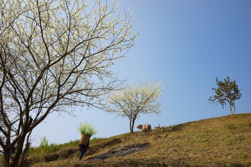 Gebirgslandschaft mit tragendem Kohl der Frau Hmong-ethnischer Minderheit blüht an hinteren, Blütenpflaumenbaum, Wildwasserbüffel stockbild