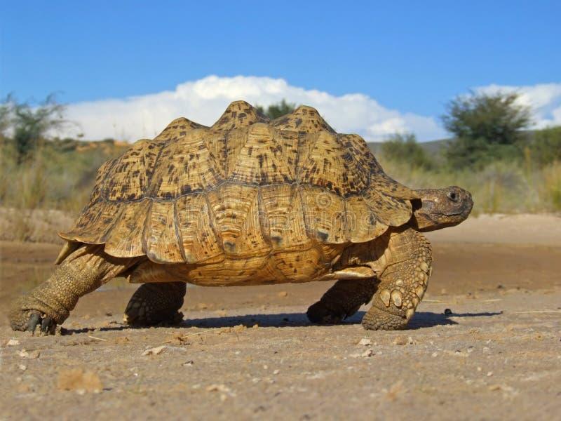 Gebirgsschildkröte stockfotos