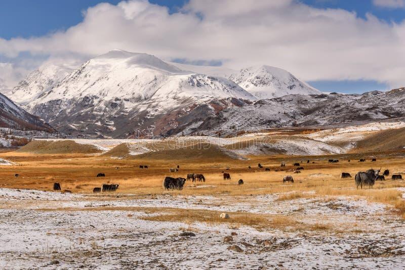 Gebirgsschneeyak-Pferdeherde lassen Herbst weiden stockbilder