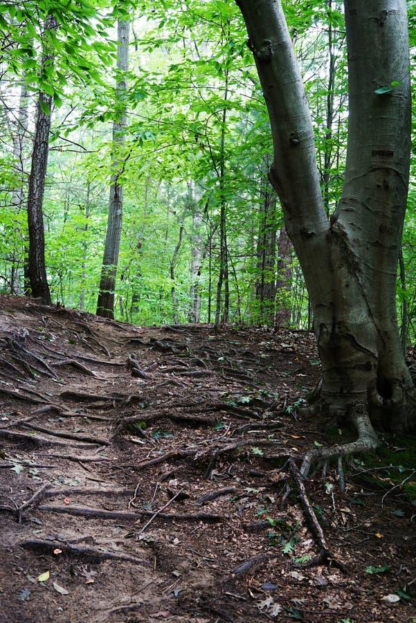 Gebirgsszene mit grünem Wald, Bahn und großen Wurzeln des Baums stockfotografie