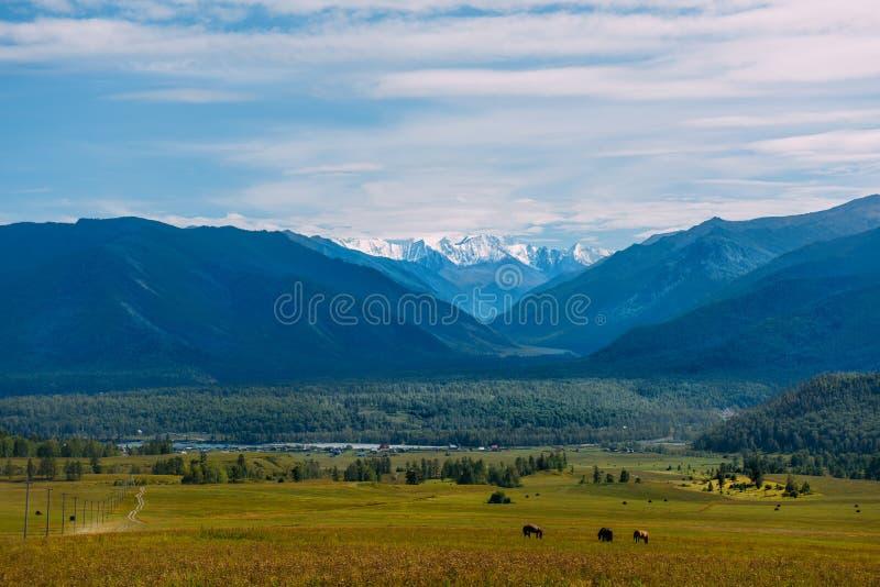 Gebirgstal mit Pferden, goldene Herbstpanoramalandschaft, Ansicht des Beluha im sonnigen Wetter, Altai-Republik, Russland stockfoto