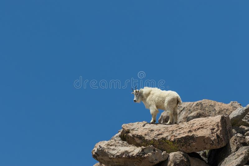 Gebirgsziege auf Berg Evans Colorado lizenzfreie stockfotografie