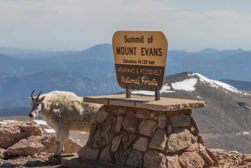 Gebirgsziege auf Berg Evans Colorado stockbilder