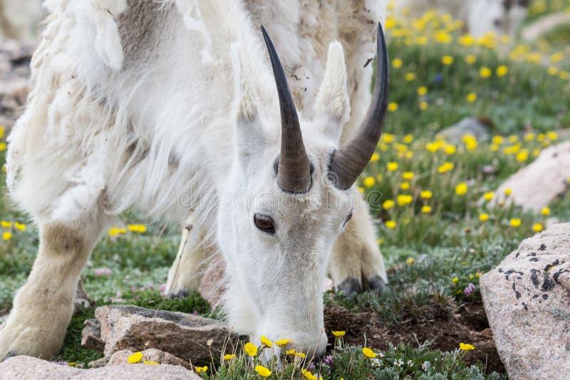 Gebirgsziege auf einem Gebiet von Blumen an Mt Evans, Colorado lizenzfreie stockfotos