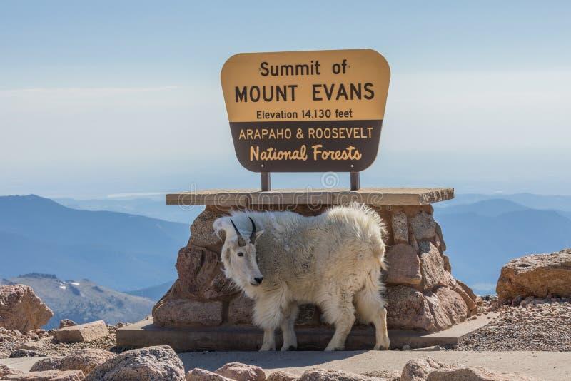 Gebirgsziege, die auf Berg Evans Colorado aufwirft stockfotos