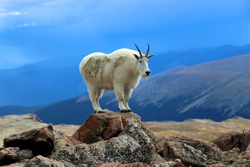 Gebirgsziege, die auf einem Felsen in Colorado steht stockfotografie