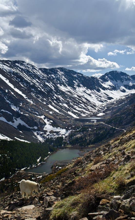 Gebirgsziege in Kolorado stockfoto