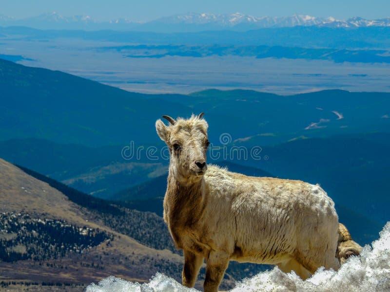 Gebirgsziege mit Colorado-Ansicht lizenzfreie stockfotos
