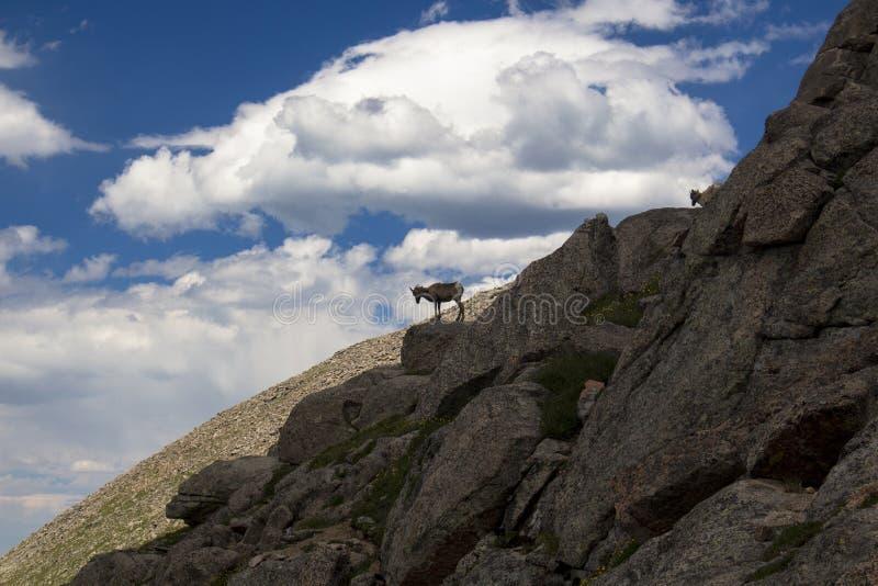 Gebirgsziegen, die auf Mt klettern evans stockbild