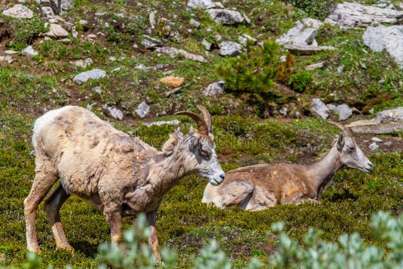 Gebirgsziegen, die auf Parker Ridge auf Kanadier Rocky Mountains weiden lassen stockfoto