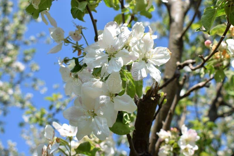 Geblühte Apfelblume, Vojvodina, Serbien stockfotografie