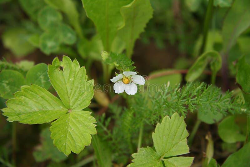 Geblühte Blume, Walderdbeeren lizenzfreie stockfotografie