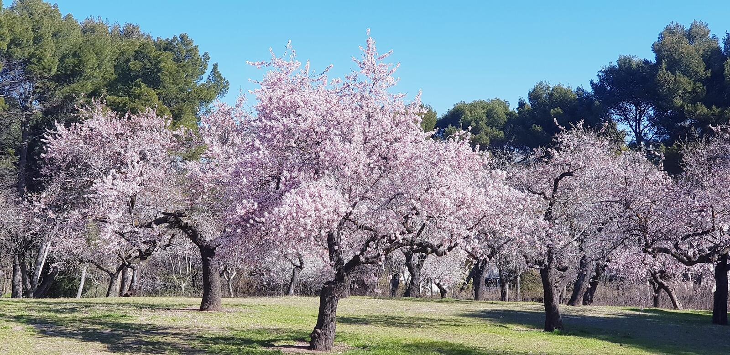 Geblühte Mandelbäume lizenzfreies stockfoto