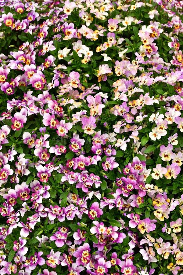 Geblühte rosa Blumen mit grünem Flecken lizenzfreies stockfoto