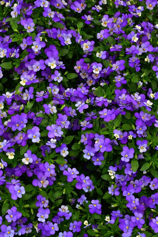 Geblühte Violet Flowers mit grünem Flecken lizenzfreies stockbild