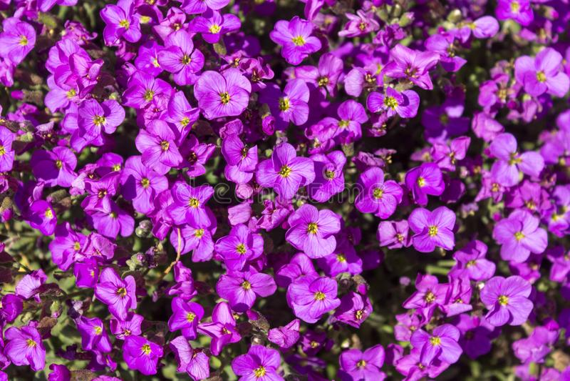 Geblühter purpurroter schleppender Saphir Lobeliablumen-/Lobelia Erinus oder Einfassung Lobelia an einem Frühlingstag stockfotos