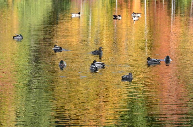 Gebladerte dat op vijver met van wilde eendeenden en Canada ganzen wordt weerspiegeld royalty-vrije stock afbeelding