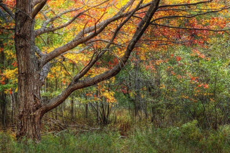 Gebladerte van de Herfst van het Park van Acadia het Nationale stock afbeelding