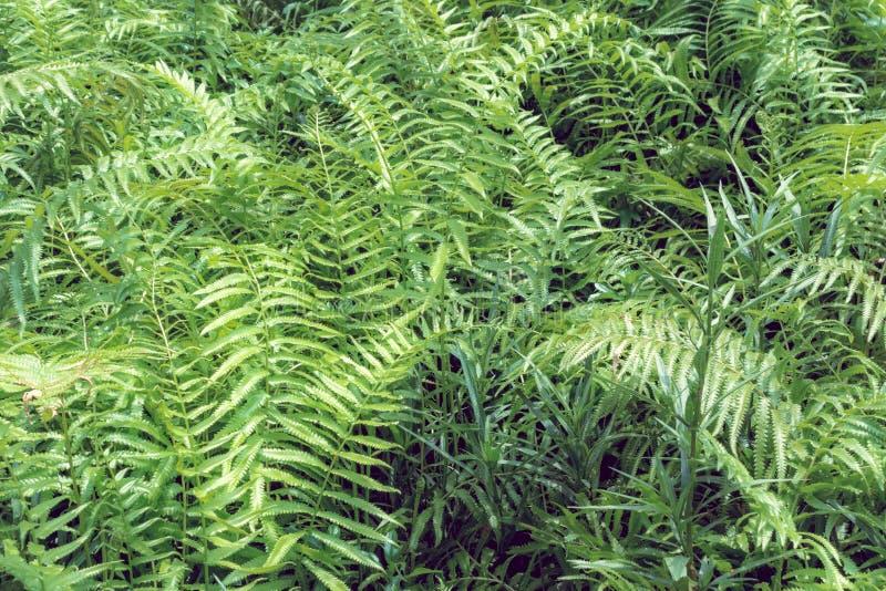 Gebladerte van varens het tropische groene bladeren, bloemen natuurlijke achtergrond SP stock foto's