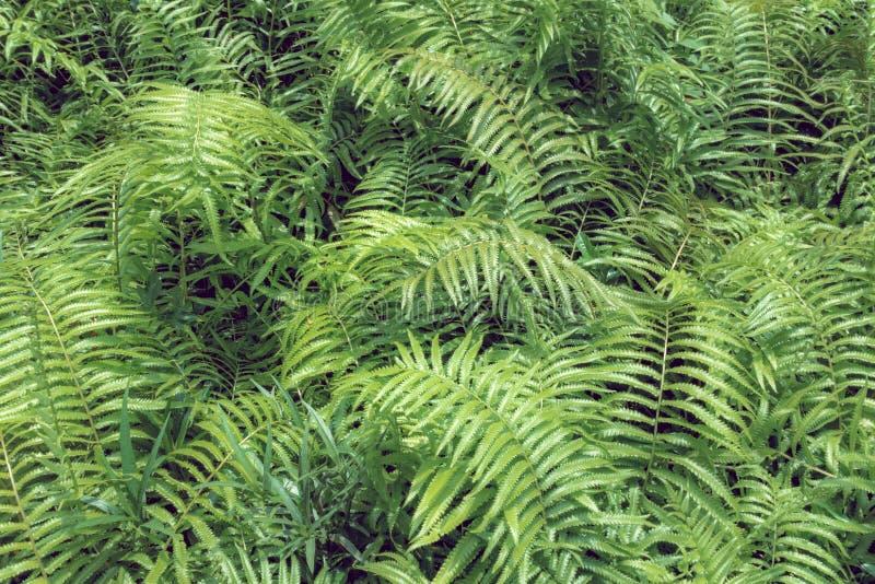 Gebladerte van varens het tropische groene bladeren, bloemen natuurlijke achtergrond SP royalty-vrije stock afbeelding