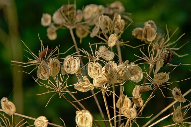 Geblasene heraus hogweed seedpods, selektiver Fokus lizenzfreie stockbilder