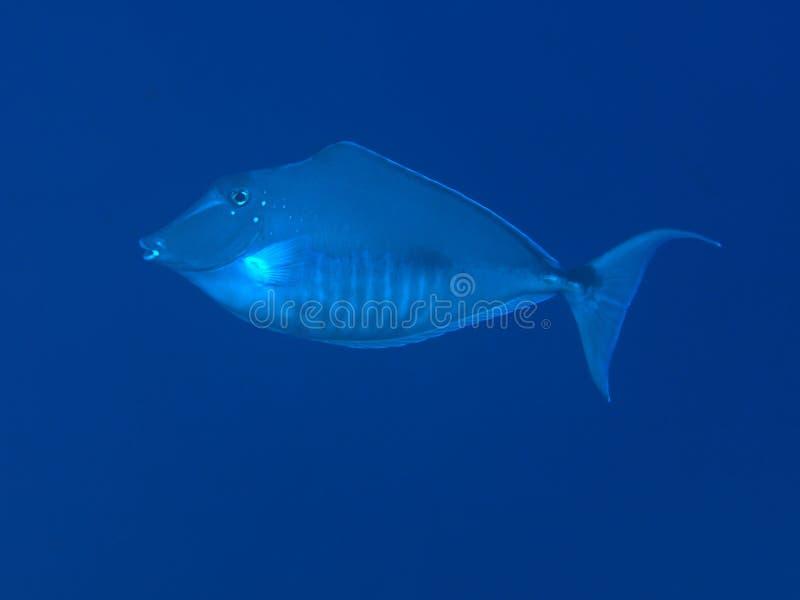 Gebochelde unicornfish royalty-vrije stock afbeelding