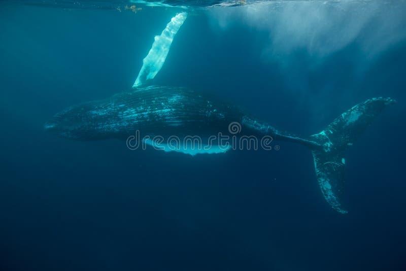 Gebocheldewalvis in de Atlantische Oceaan stock afbeeldingen