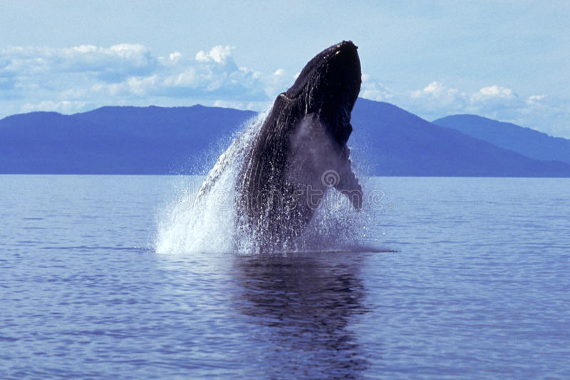Gebocheldewalvis die (Megaptera-novaeangliae) overtreden, Alaska, Zuiden royalty-vrije stock fotografie
