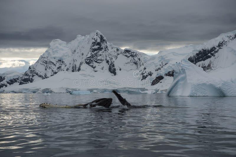 Gebocheldewalvis het voeden kril stock foto's