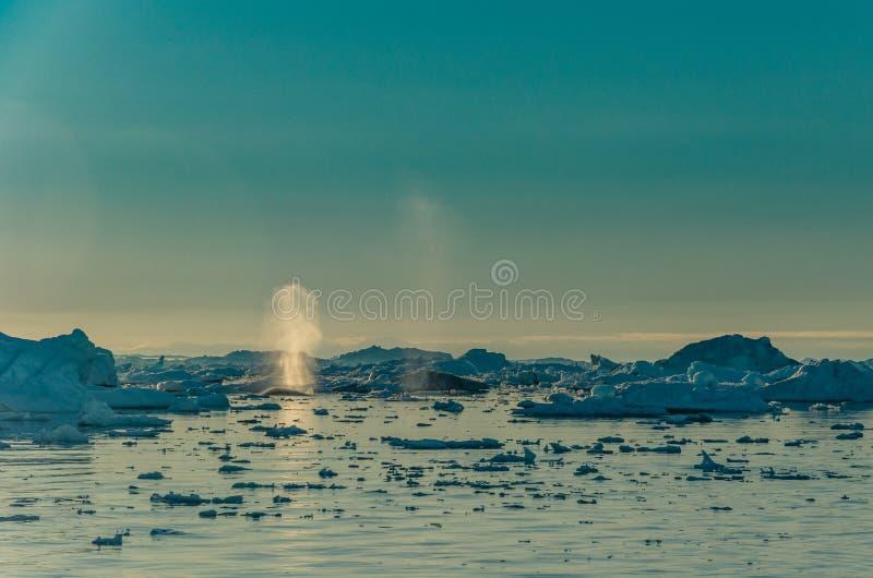 Gebocheldewalvis onder de ijsbergen in Ilulissat icefjord, West-Groenland stock foto