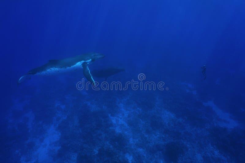 Gebocheldewalvis onderwater met de mens in apnea stock afbeeldingen